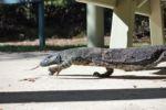 Ein Guana besucht uns beim Mittagessen