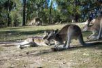 Zahme Känguruhs bei Agnes Water