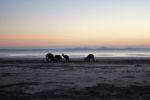 Känguruhs beim Frühstück am Cape Hillsborough