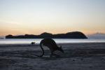 Känguruh am Cape Hillsborough