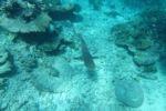 Weissspitzenriffhai