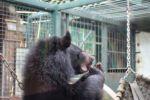 Asiatischer Schwarzbär beim Kuang Si Wasserfall