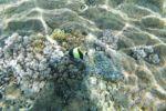 """Halterfisch (oder Kahn aus """"Findet Nemo"""")"""